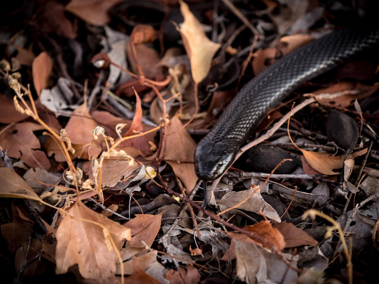 A snake slithering over dried leaves.